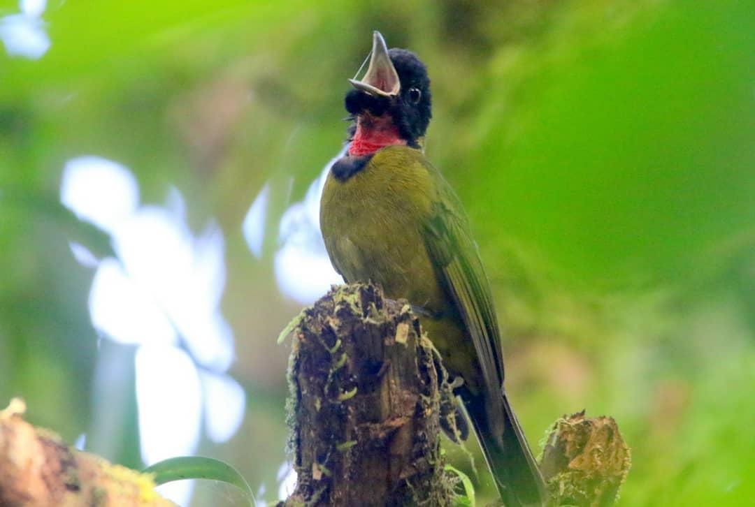 Burung Garugiwa